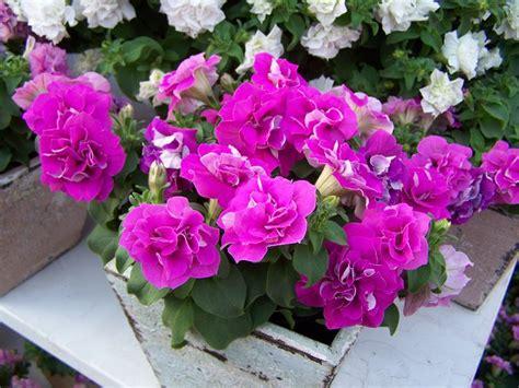 fiore petunia surfinia piante annuali surfinia pianta