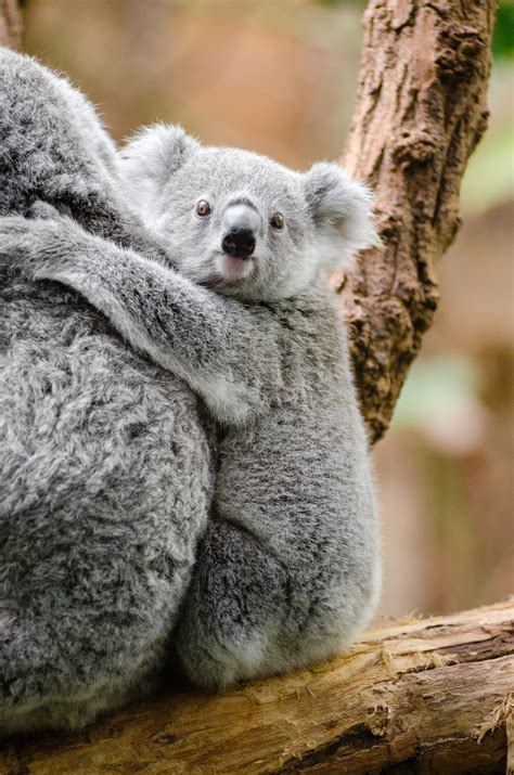 grey  white koala bear  stock photo