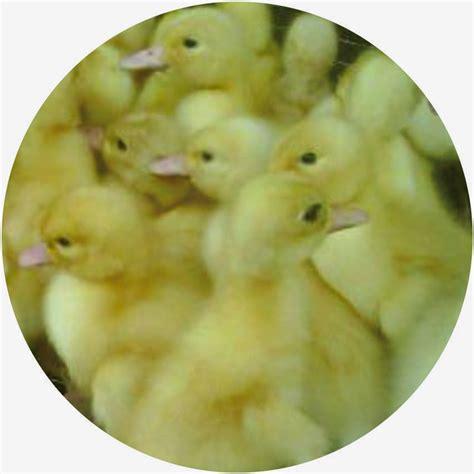 Bibit Bebek Petelur Jogja pertama saya cara sukses budidaya ternak bebek petelur