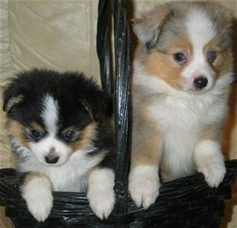 teacup australian shepherd puppies for sale dogs meng material pet