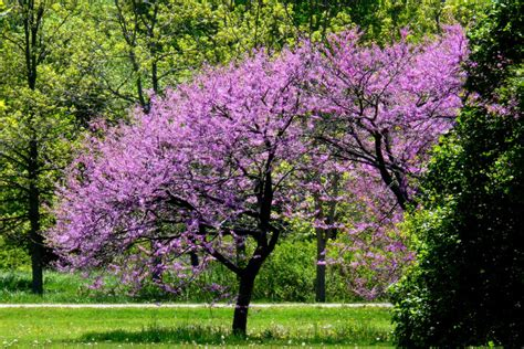 Redbud Tree Eastern Redbud Trees For 5 08 Each Hollyhillnurseries