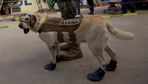 frida the rescue frida the rescue emerges as of mexican earthquake amazing geo tv