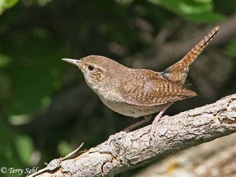 house wren south dakota birds and birding