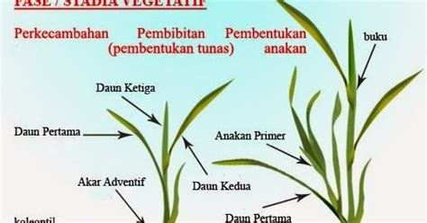 Penjual Bibit Daun Bawang mengenal fase vegetatif dan fase generatif pada tanaman