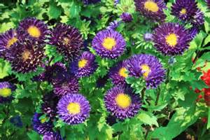 Plant Decorations Home aster alpine aster la paz group