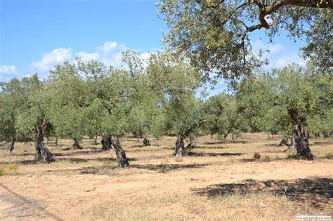 agricola ragusa olio biologico d o p monti iblei gulfi azienda agricola