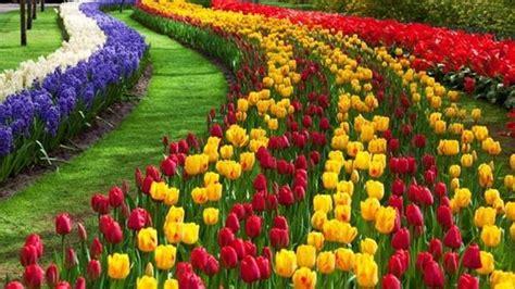 significato dei fiori tulipani tulipano significato fiori
