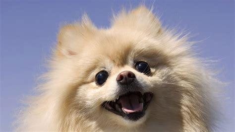 imagenes de mascotas chihuahua pelo largo related keywords chihuahua pelo