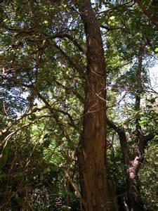 locust tree pictures photos facts on locust trees