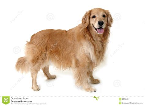 pics golden retrievers standing golden retriever royalty free stock images image 2328649