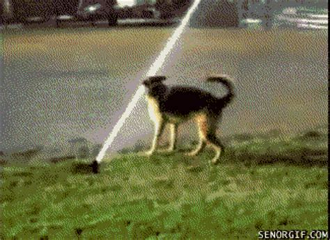 Dog Sprinkler Meme - animals take on sprinklers and hoses a fun summer gif