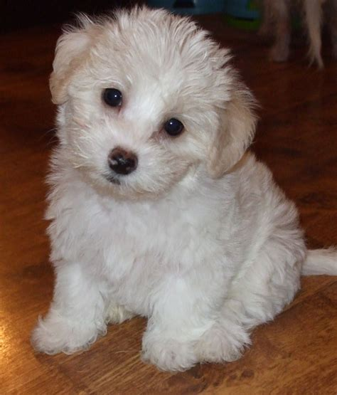 shih tzu and a bichon frise shih tzu bichon frise mix for sale breeds picture