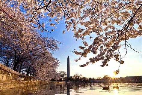 national cherry blossom festival celebrate spring at the national cherry blossom festival