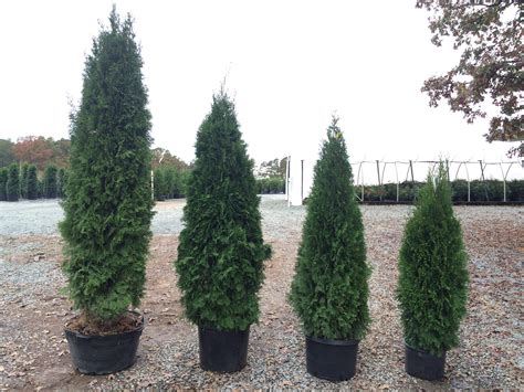 arborvitae emerald green thuja occidentalis smaragd latham s nursery