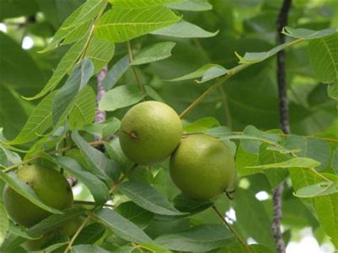 fruit tree identifier tree identification slideshow