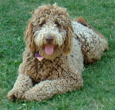 doodle labradoodles labradoodle pictures pictures submitted from