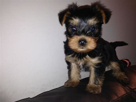 4 week yorkie puppy 8 week yorkie puppy manchester greater manchester pets4homes