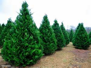 related keywords suggestions for leyland cypress