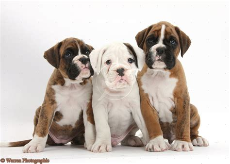 boxer puppies the gallery for gt white boxer memes