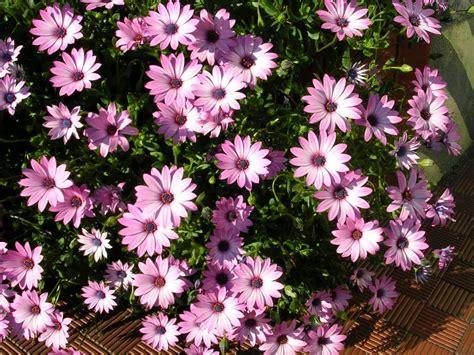 margherita fiori fiori margherita fiori di piante
