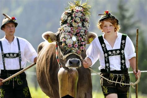 farmers wearing traditional bavarian clothes lead cattle