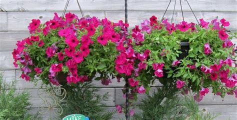 merawat bunga petunia  rumah  tanaman hias