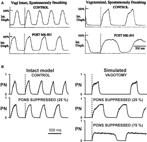 breathing pattern types changes in the breathing pattern phrenic activity pn