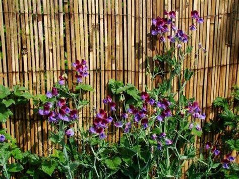 fiore pisello odoroso pisello odoroso piante annuali caratteristiche