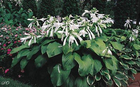 fragrant hostas learn all about fragrant hostas varieties growing