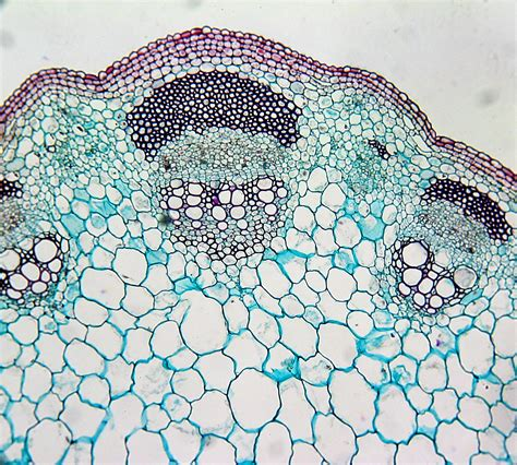 cross section of dicot stem helianthus stem cross section