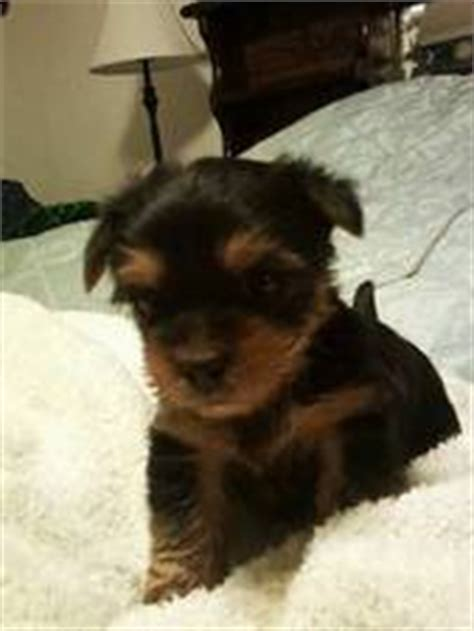 baby yorkie poos baby yorkiepoo yorkie poo puppies photo 24834239 fanpop breeds picture