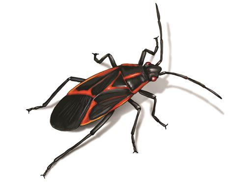 rid  box elder bugs  houses infestation control