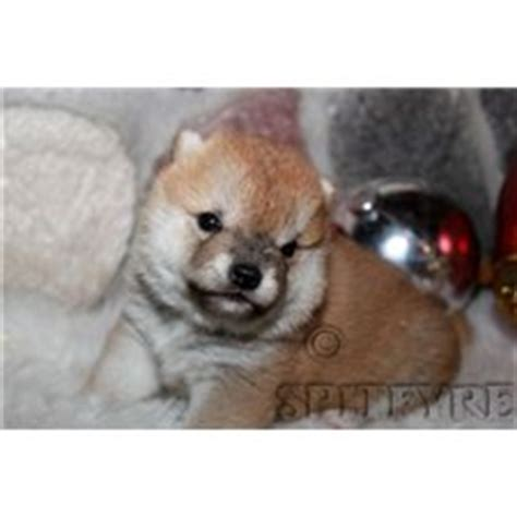 free puppies brainerd mn puppies for sale from spitfyre shiba inu member since march 2006