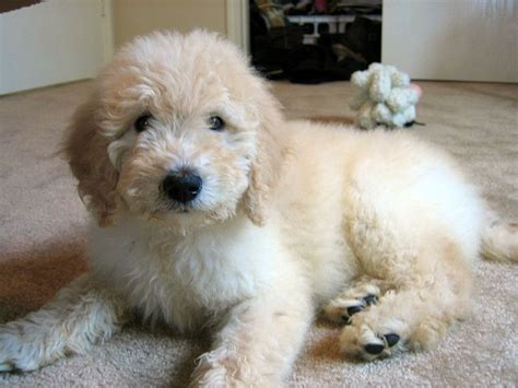 golden retriever cross poodle puppies favorite poodle mix dogs slideshow