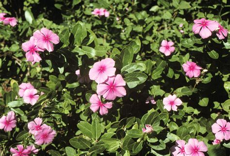 cural impatance of rosy periwinkle catharanthus roseus madagascar periwinkle periwinkle a for diabetic and cancer