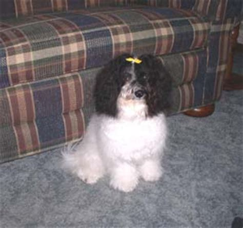 havaneses puppies havanese puppy pictures havanese breeders akc registered rachael edwards