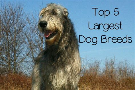 worlds breed the 10 largest breeds 28 images most dangerous breeds in the world top