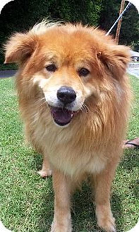 south carolina golden retriever rescue top 25 ideas about chow retriever mix on chow chow adoption and puppys