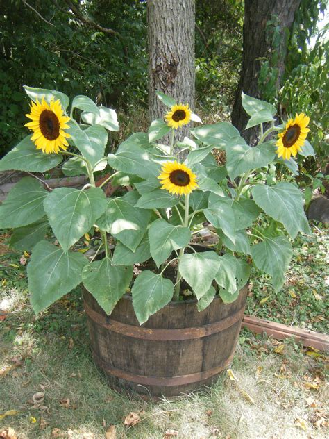 potted sunflower picture more detailed picture about led flower pot gerbera fake flowers dwarf sunflowers i am in love i planted these in