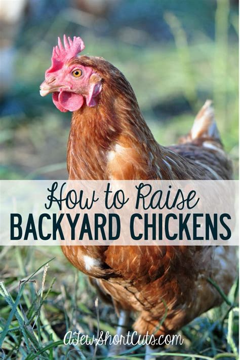 how to raise backyard chickens for eggs how to raise backyard chickens a few shortcuts