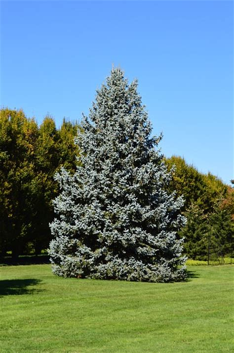 blue mini tree everything about growing blue spruce tree blue spruce