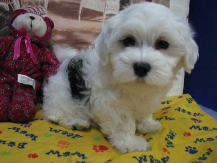 free puppies okc sweet loving registered havanese puppies for sale adoption from hulbert oklahoma tulsa