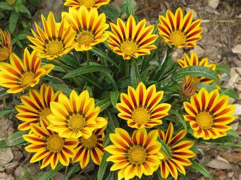 co de fiore gazania uniflora gazania uniflora piante annuali