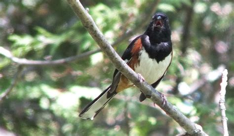 an eastern towhee at forks of the credit provincial park