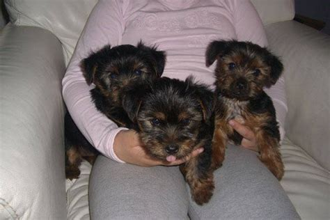 terrier puppies for free terrier puppies for sale for sale adoption from coventry west