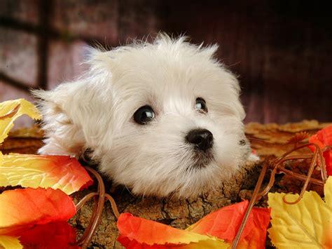 white fluffy puppy white fluffy puppy xcitefun net