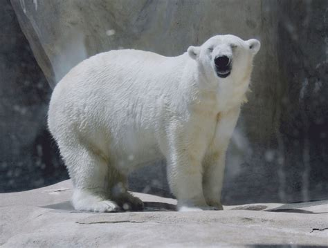 Polar Smile 35 best bears images on nature animals
