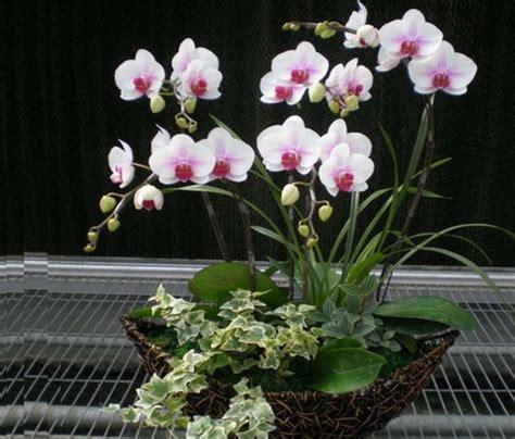 Pot Anggrek Bulan cara merawat bunga anggrek di pot