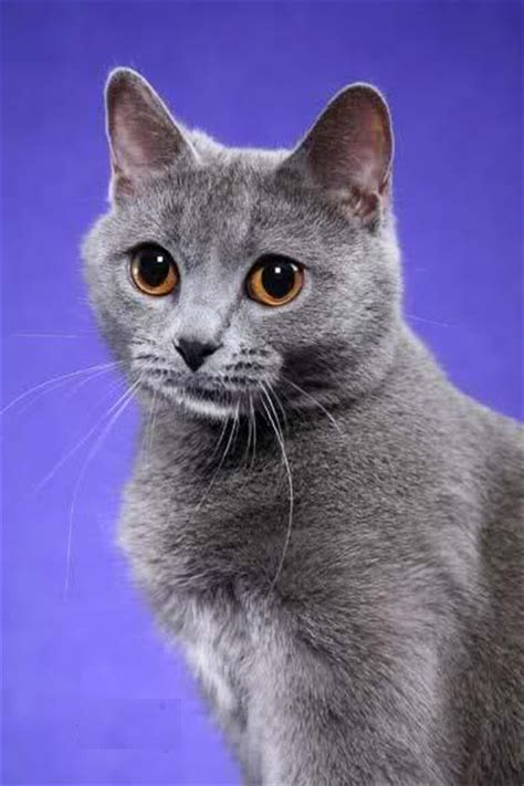 For Cats by Chartreux Cat Pictures And Info Cats Breeds