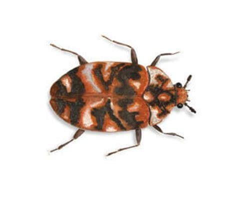tarme dei tappeti insetti dei tappeti pellicce e altri tessuti rentokil